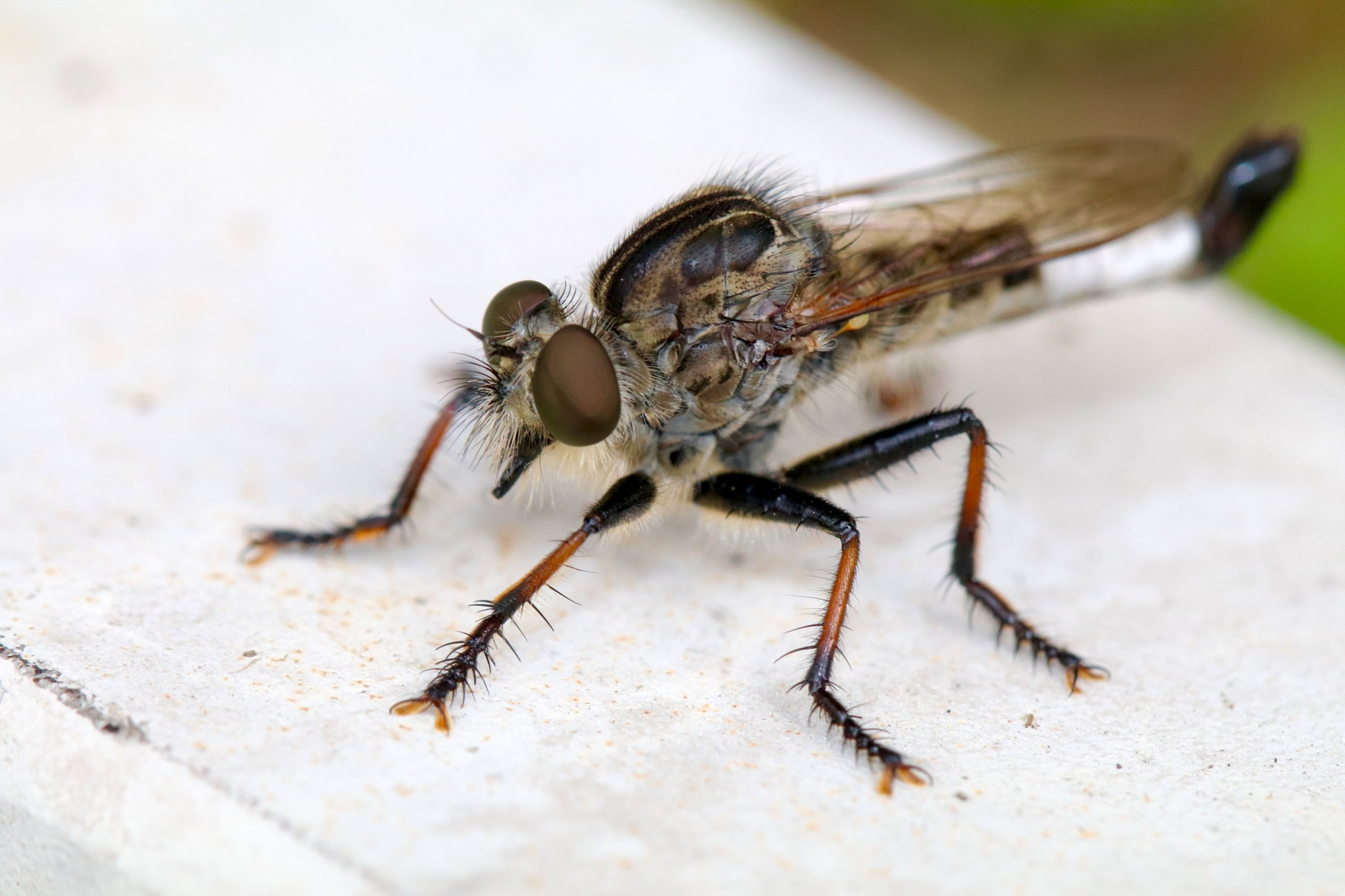 Robber Fly by MyMagnolia