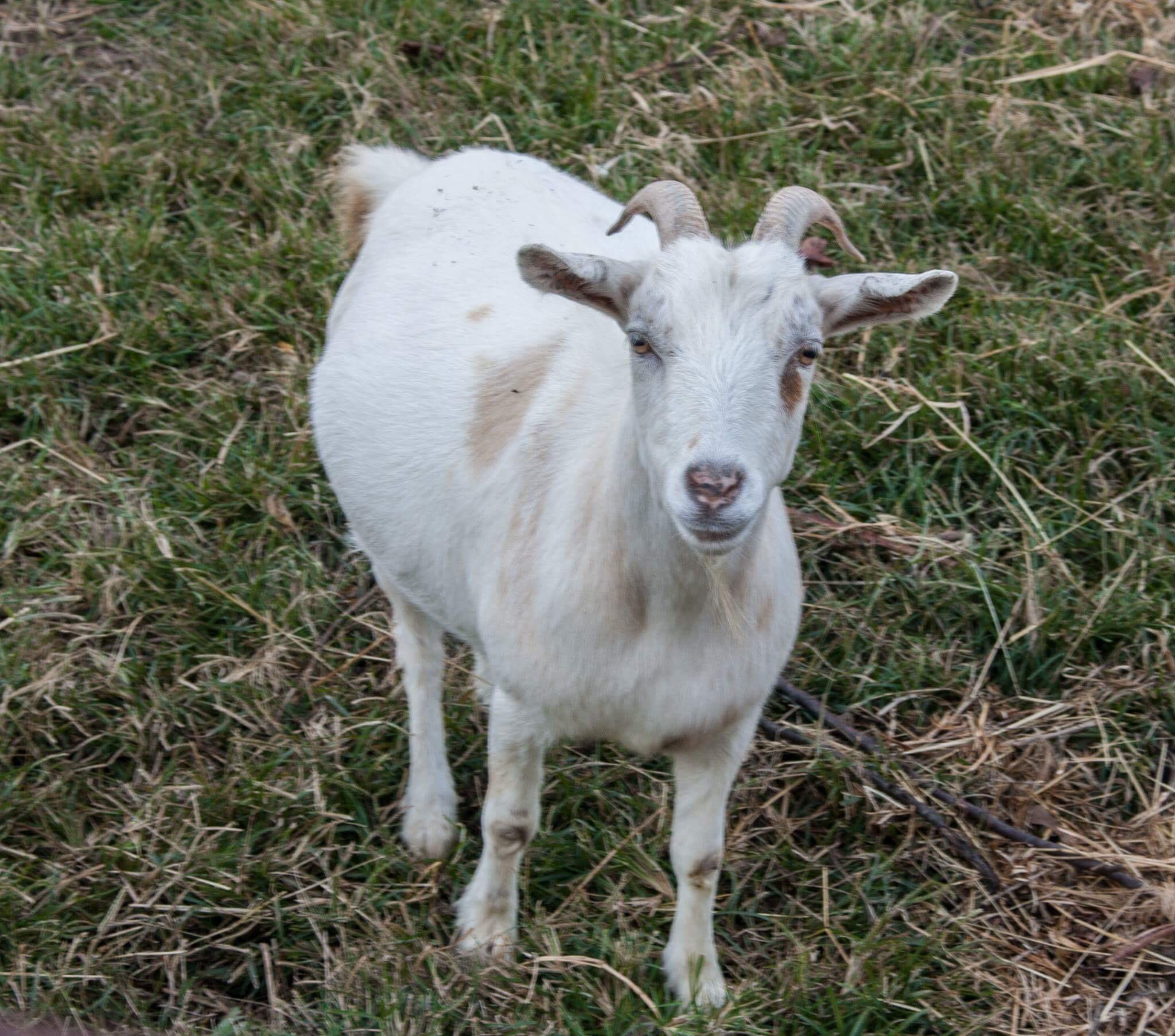 Goat by Mercedes Tortat