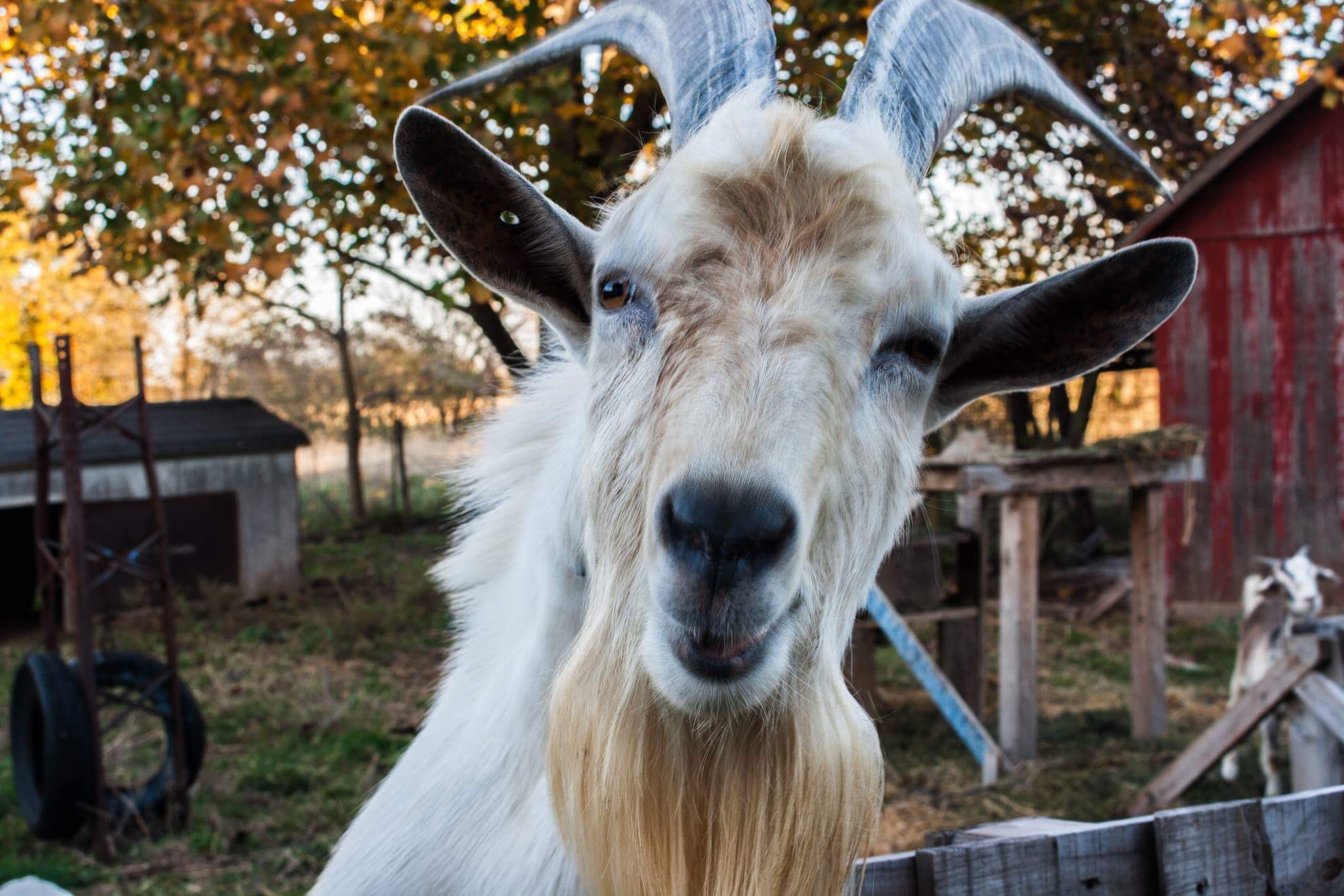 Razor The Goat by Mercedes Tortat
