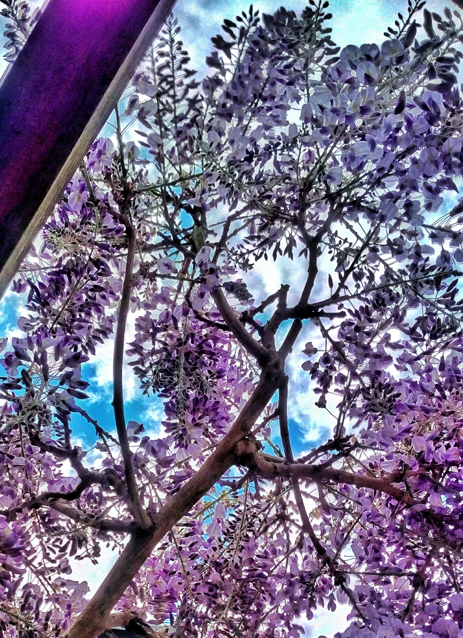 Wisteria and sky. by mobileme