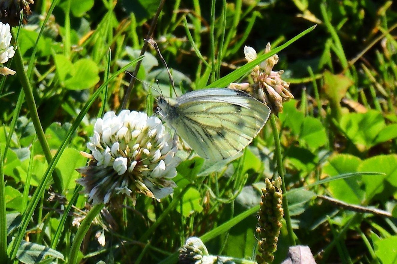 fjäril butterfly by sirre