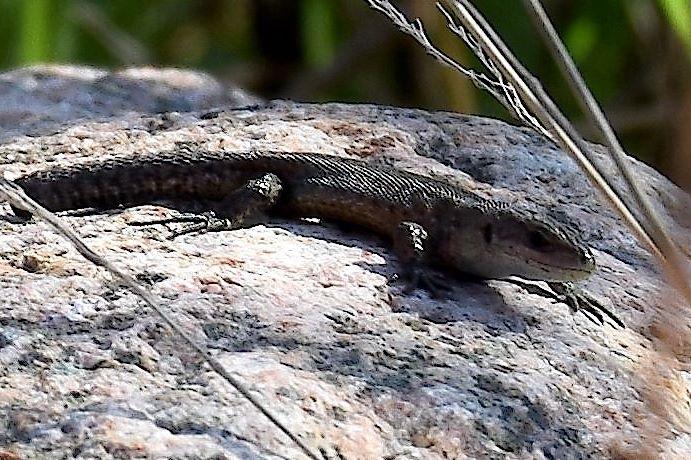 skogsödla forest lizard by sirre