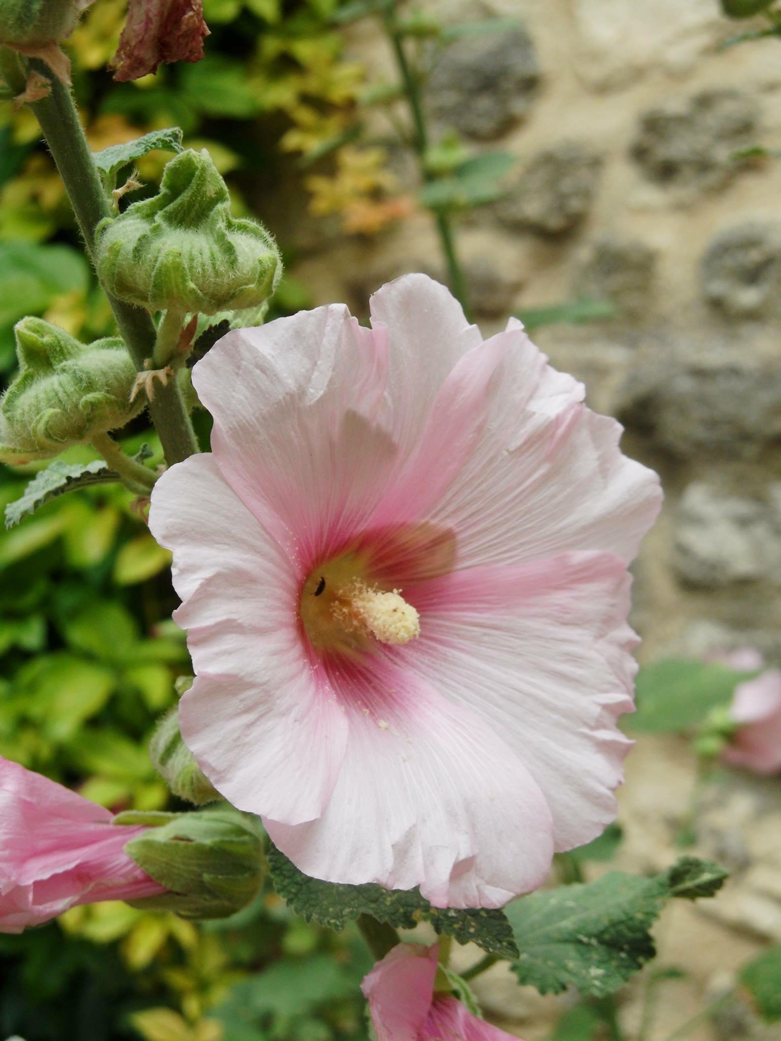 French rose by Lenneke4U