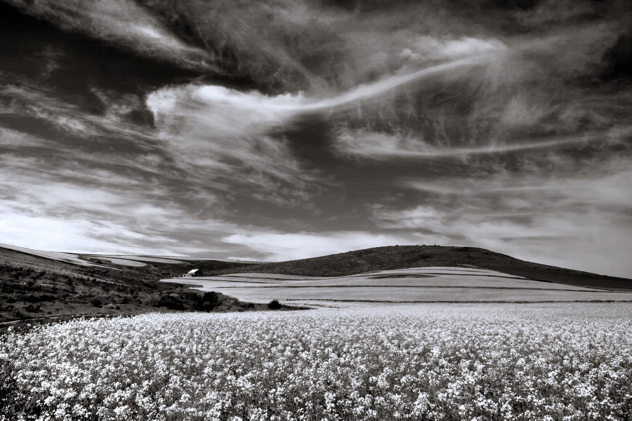 Canola Fields by Michael Feistel