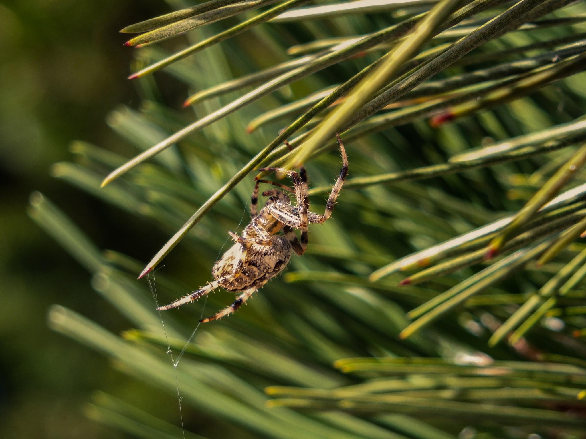 Araneus diadematus by Martin Bednář