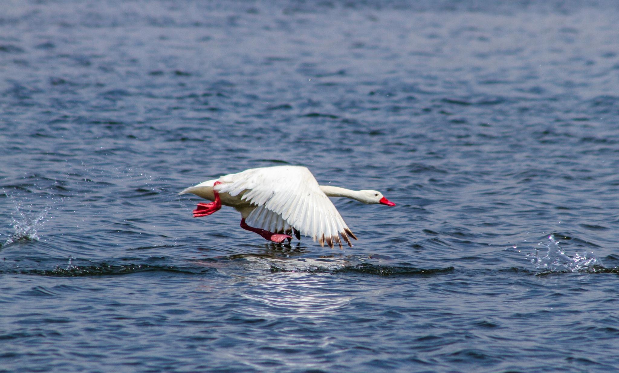 Cisne coscoroba en Humedal Arauco by nicolasprovoste