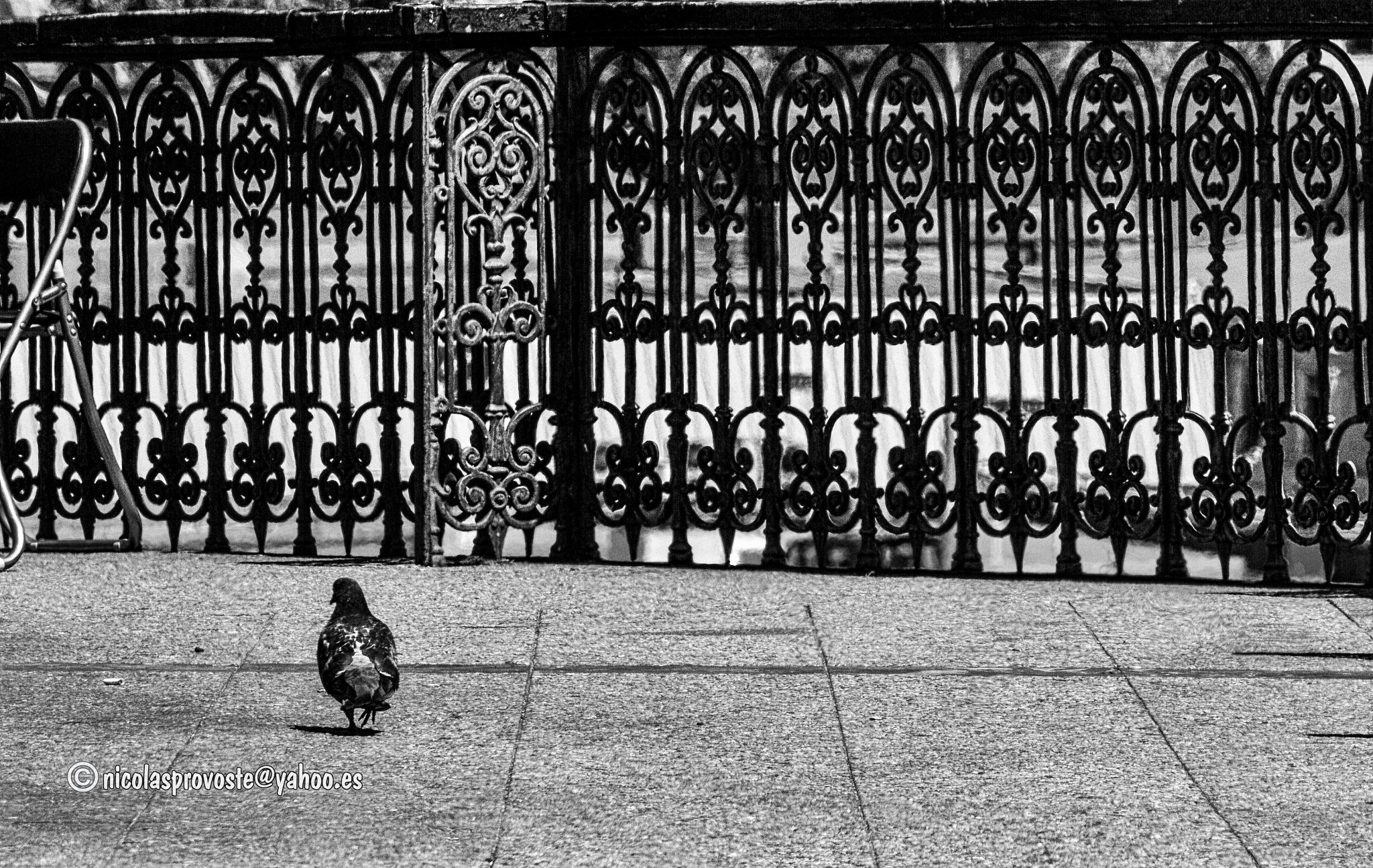 La paloma en el paseo by nicolasprovoste