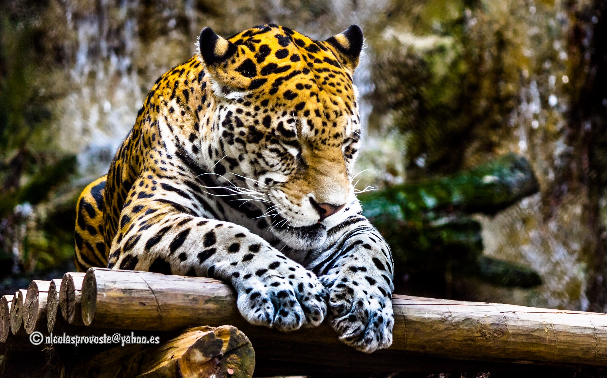 Tigre meditando by nicolasprovoste