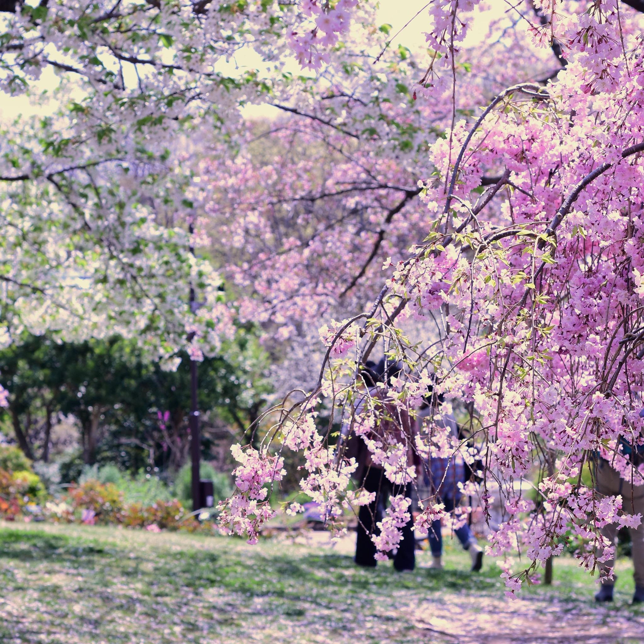 枝下桜 by kumikoxinye