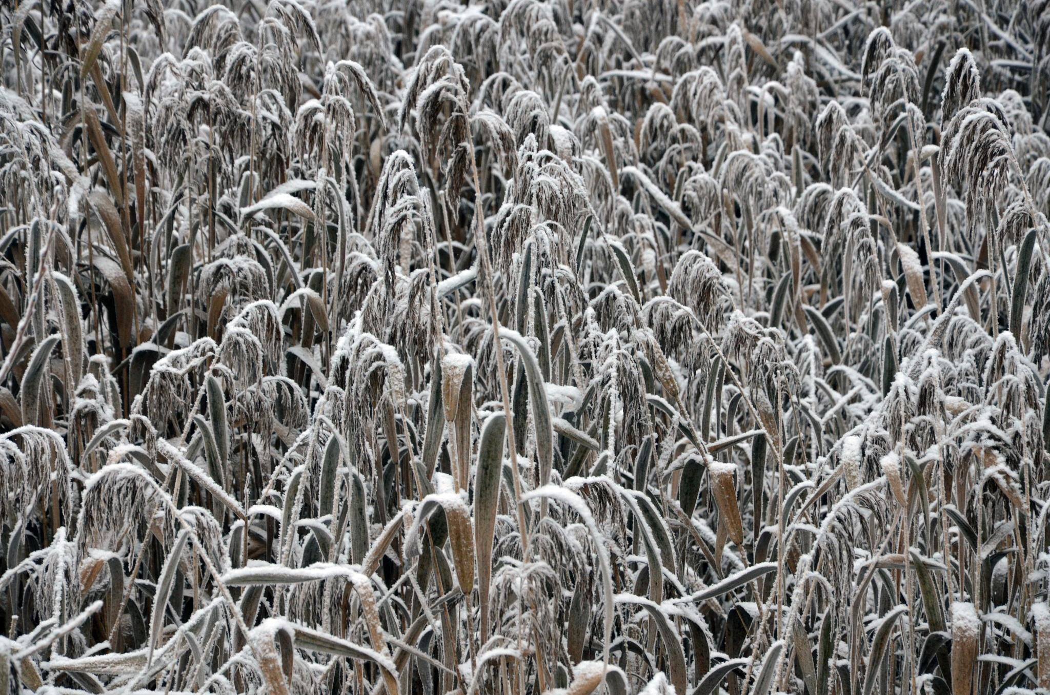 First snow 4 by Zenonas Meškauskas