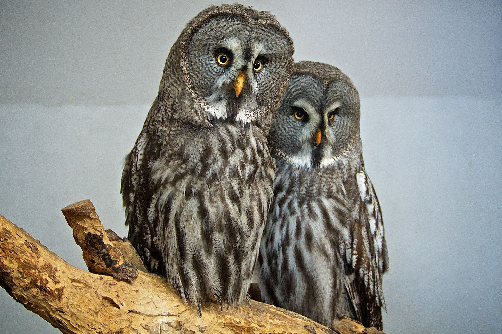 Great Grey Owls by matsuzawa