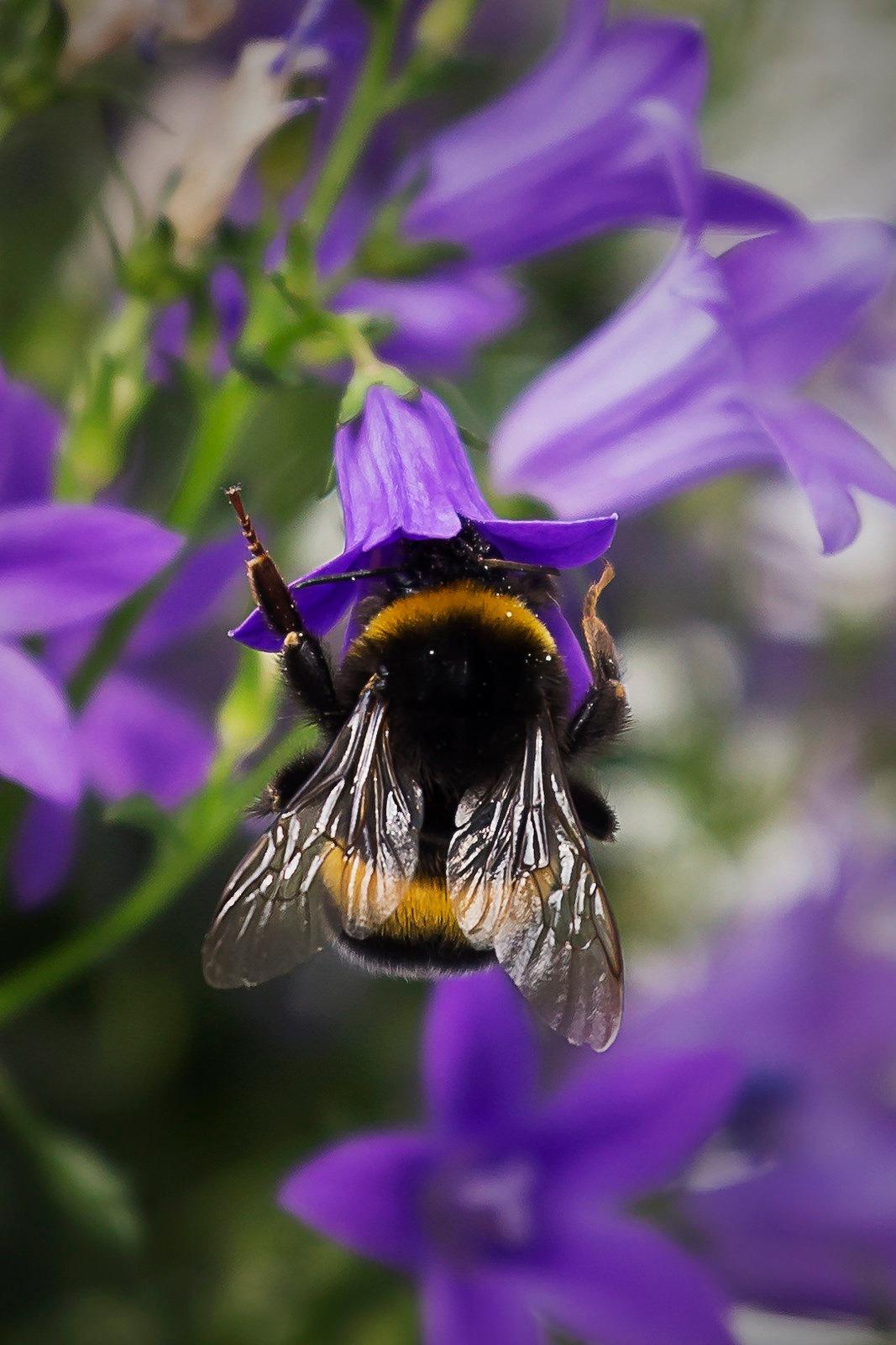 Bumblebee by EelkoBouma
