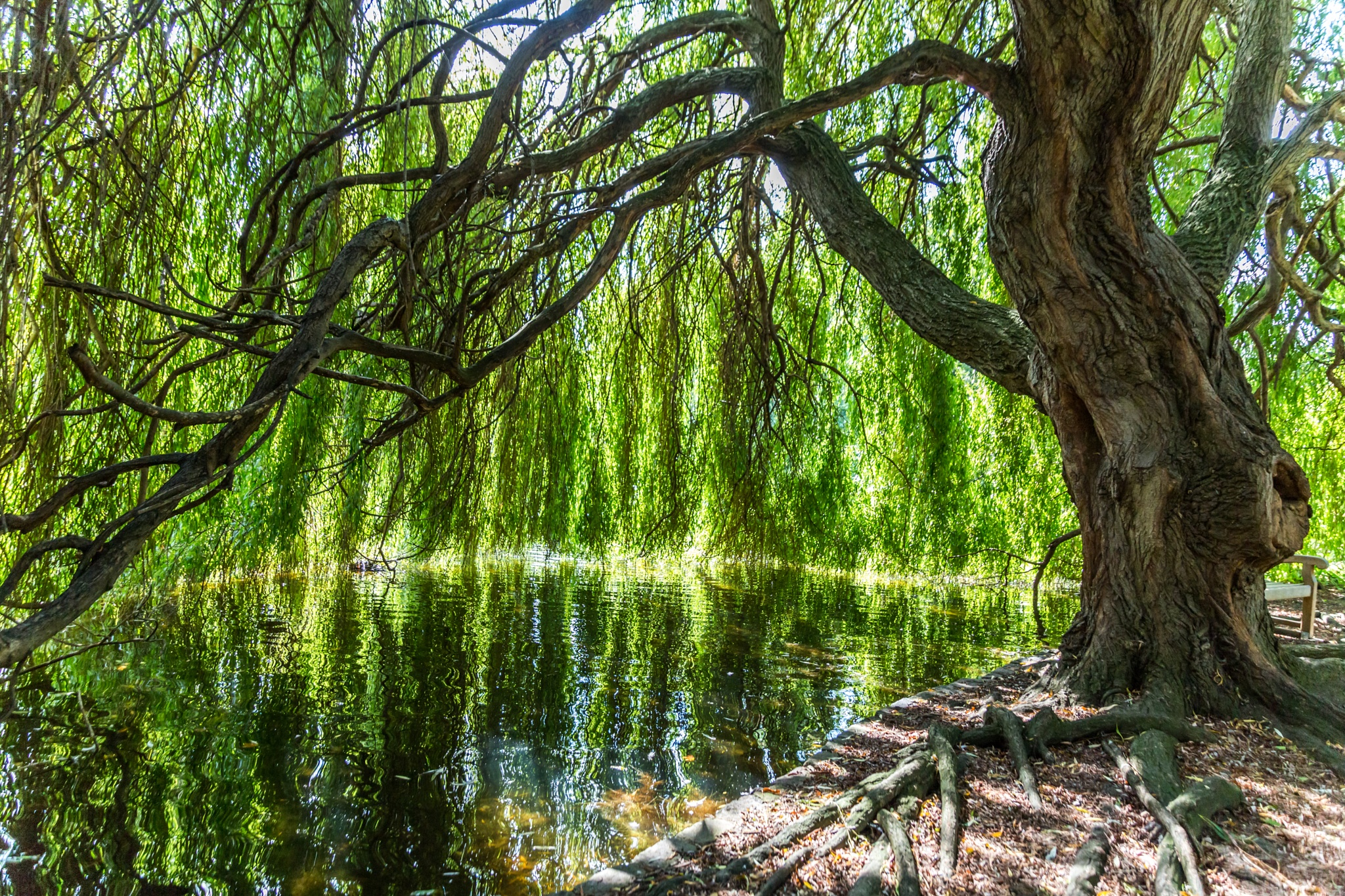 old willow by Rotea Marian