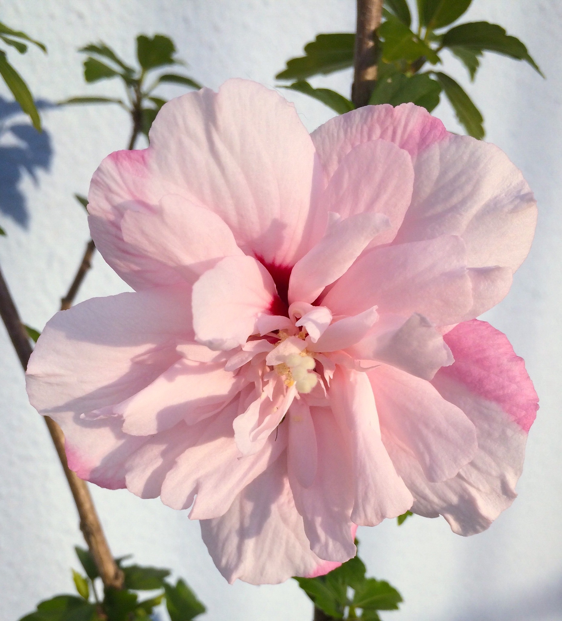 Hibisco  by roneilow