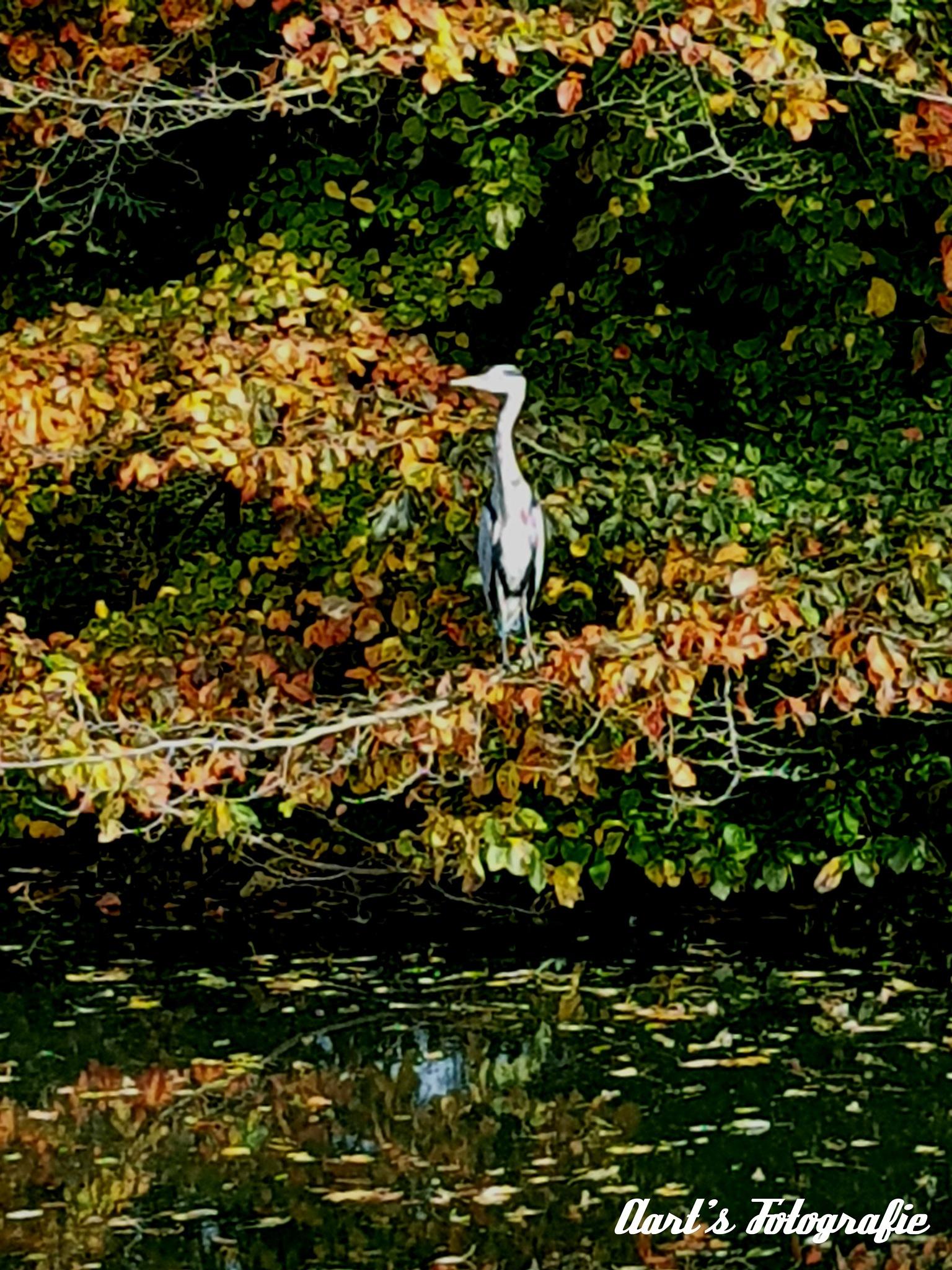 Heron in a tree , reiger in een boom  by Aart Bol