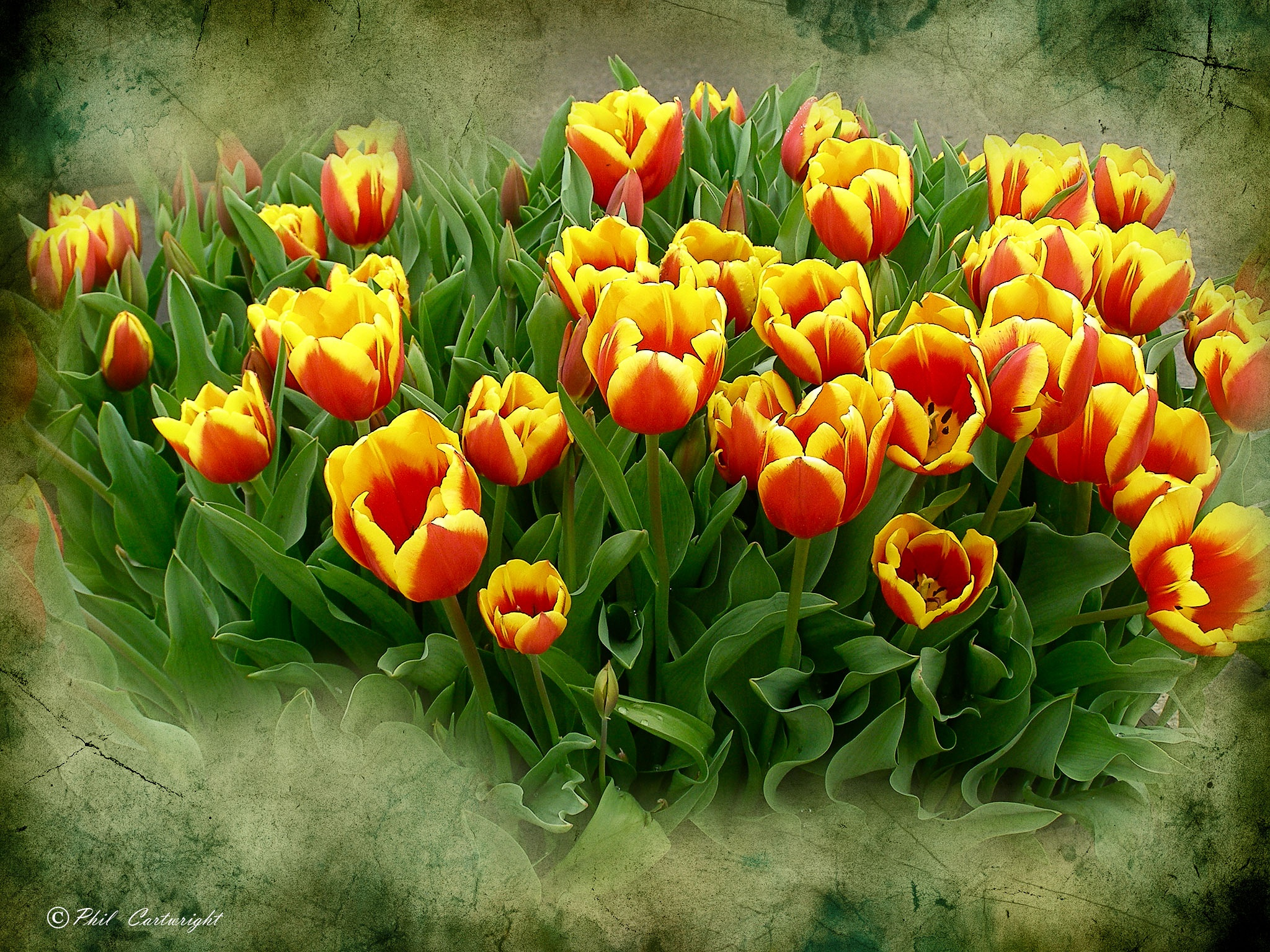 Tulips by PhilC