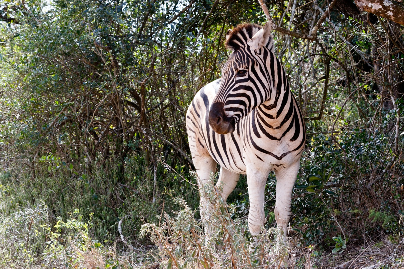 Burchells Zebra Looking Left by Mark de Scande