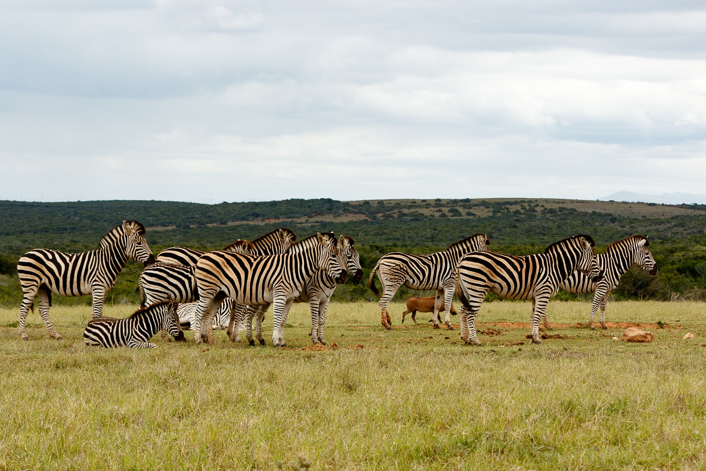 Zebras lining up for some water by Mark de Scande