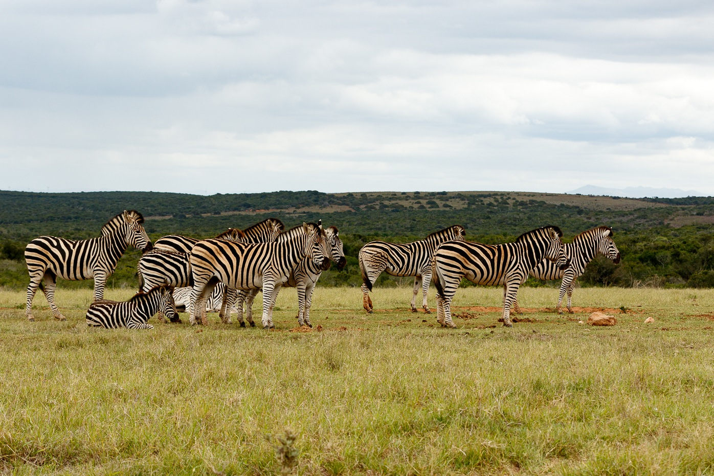 Zebras standing and lining up for some water  by Mark de Scande