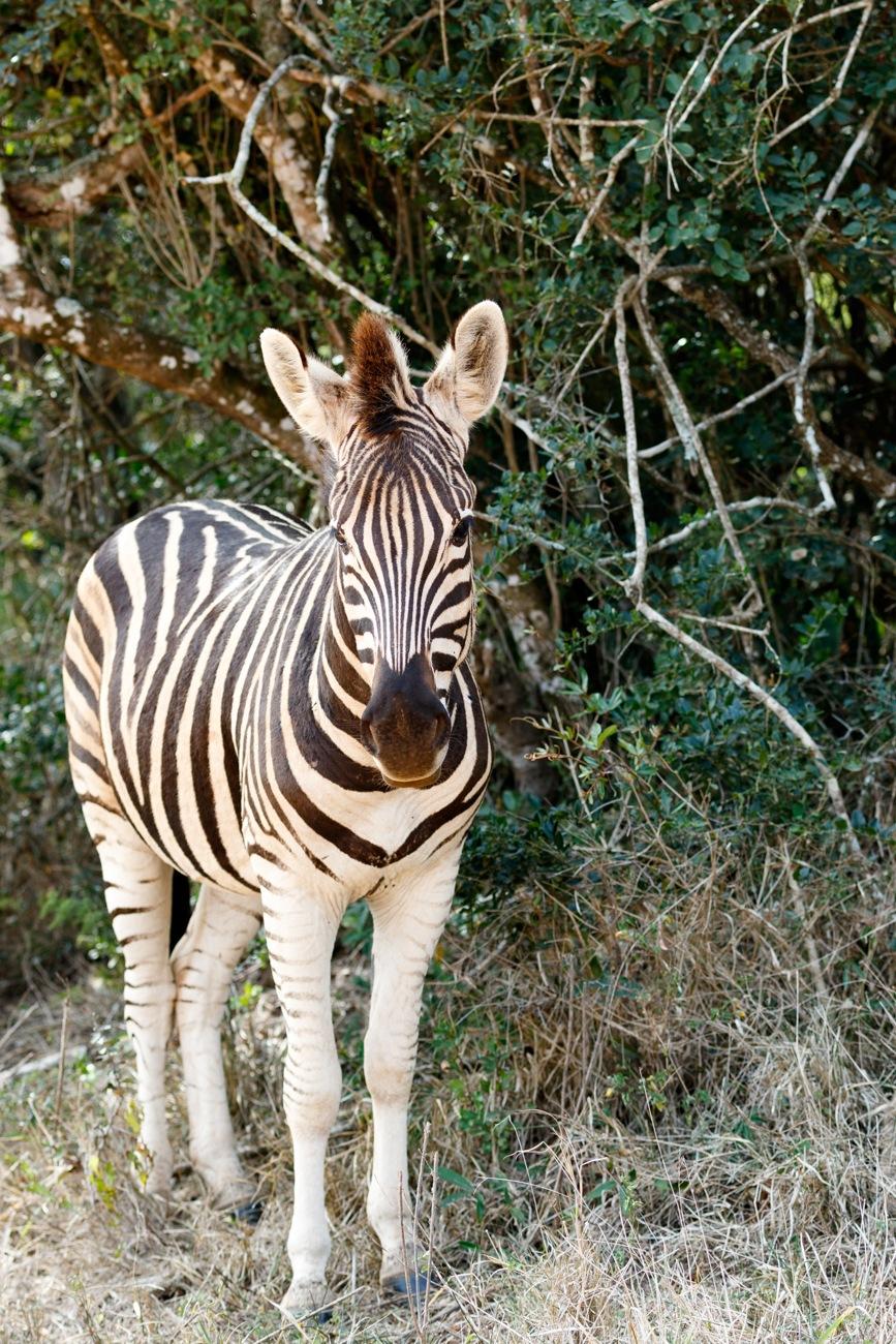 Baby Burchell's Zebra looking all alone.  by Mark de Scande