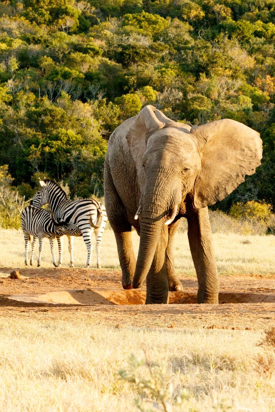 African Bush Elephant looking at Zebra Drinking by Mark de Scande