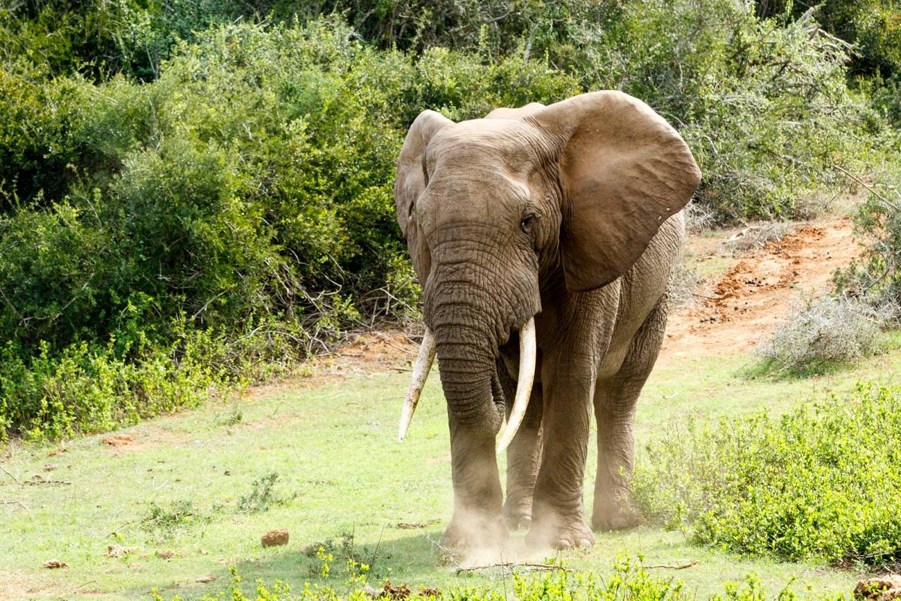 Big African Bush Elephant with huge trunks. by Mark de Scande