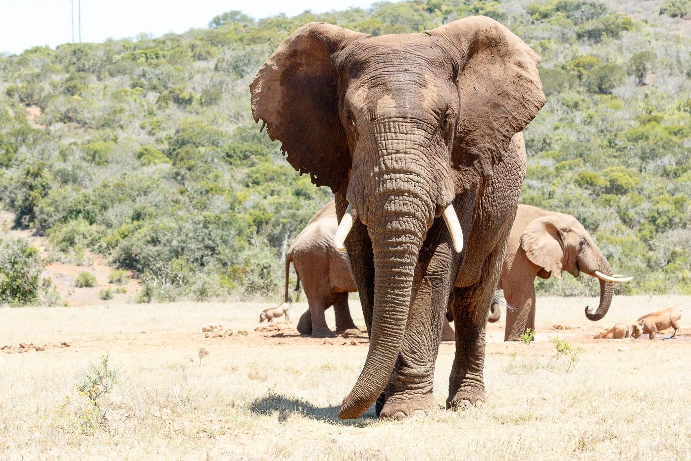 African Elephant standing tall  by Mark de Scande