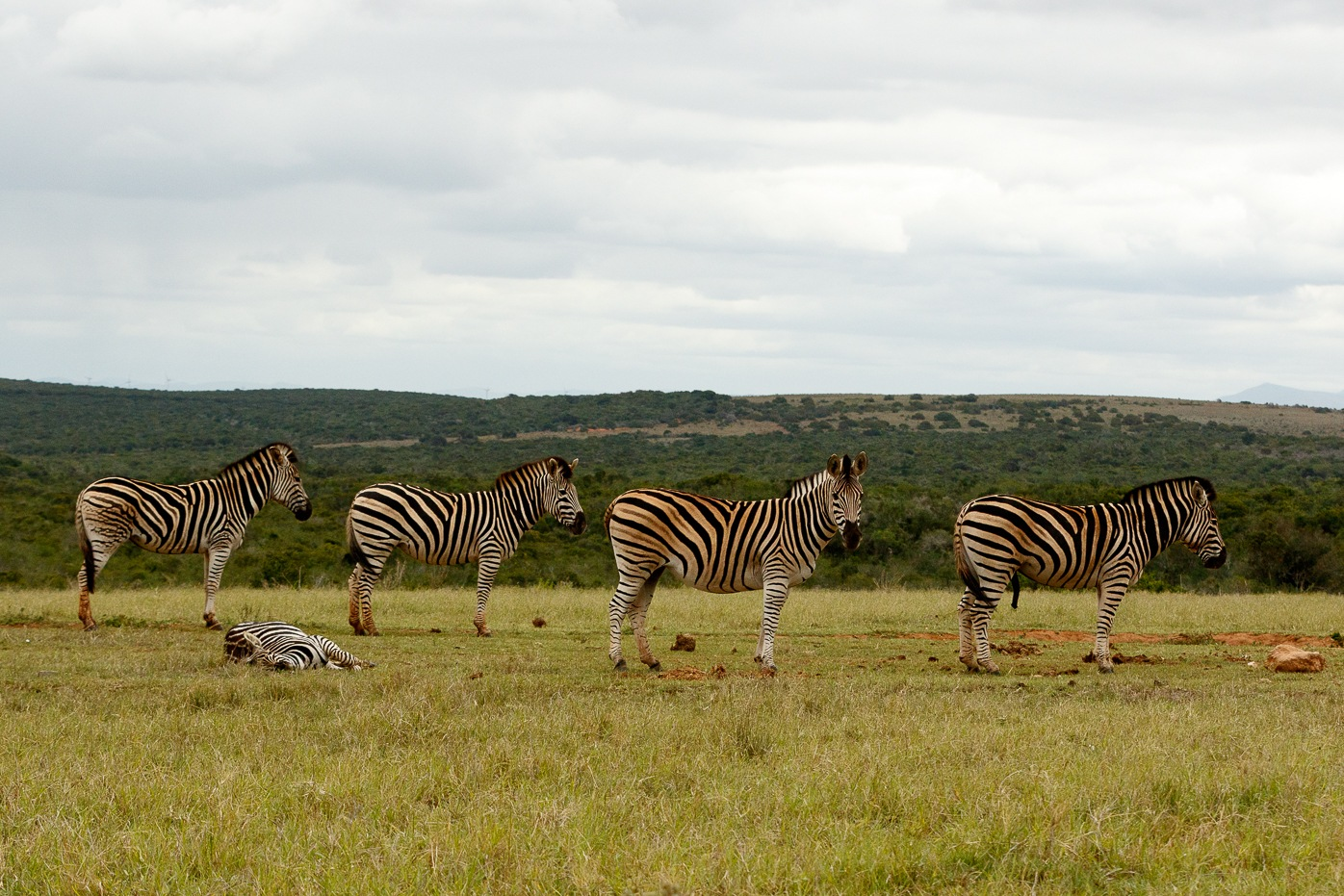 Zebras standing and lying down, waiting for some water by Mark de Scande