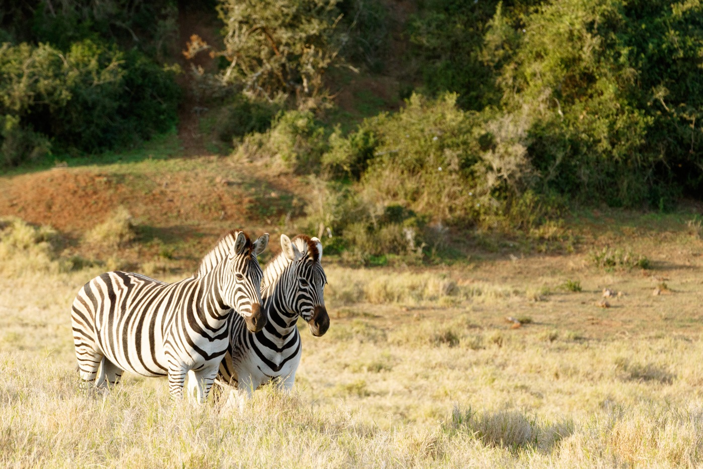 The sun setting down on two Zebras by Mark de Scande