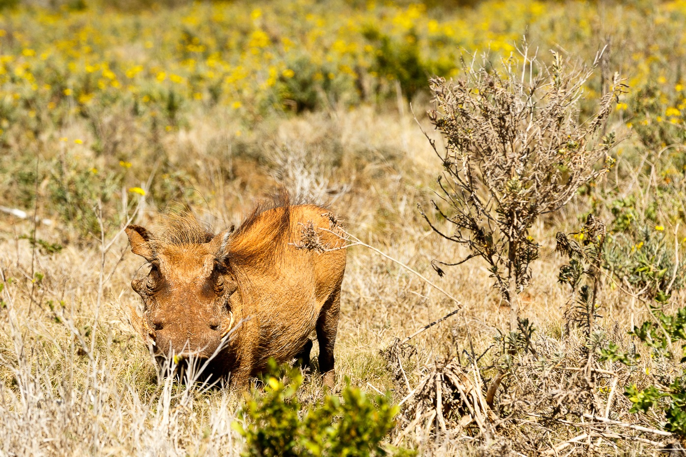 Common warthog hiding between the bushes by Mark de Scande