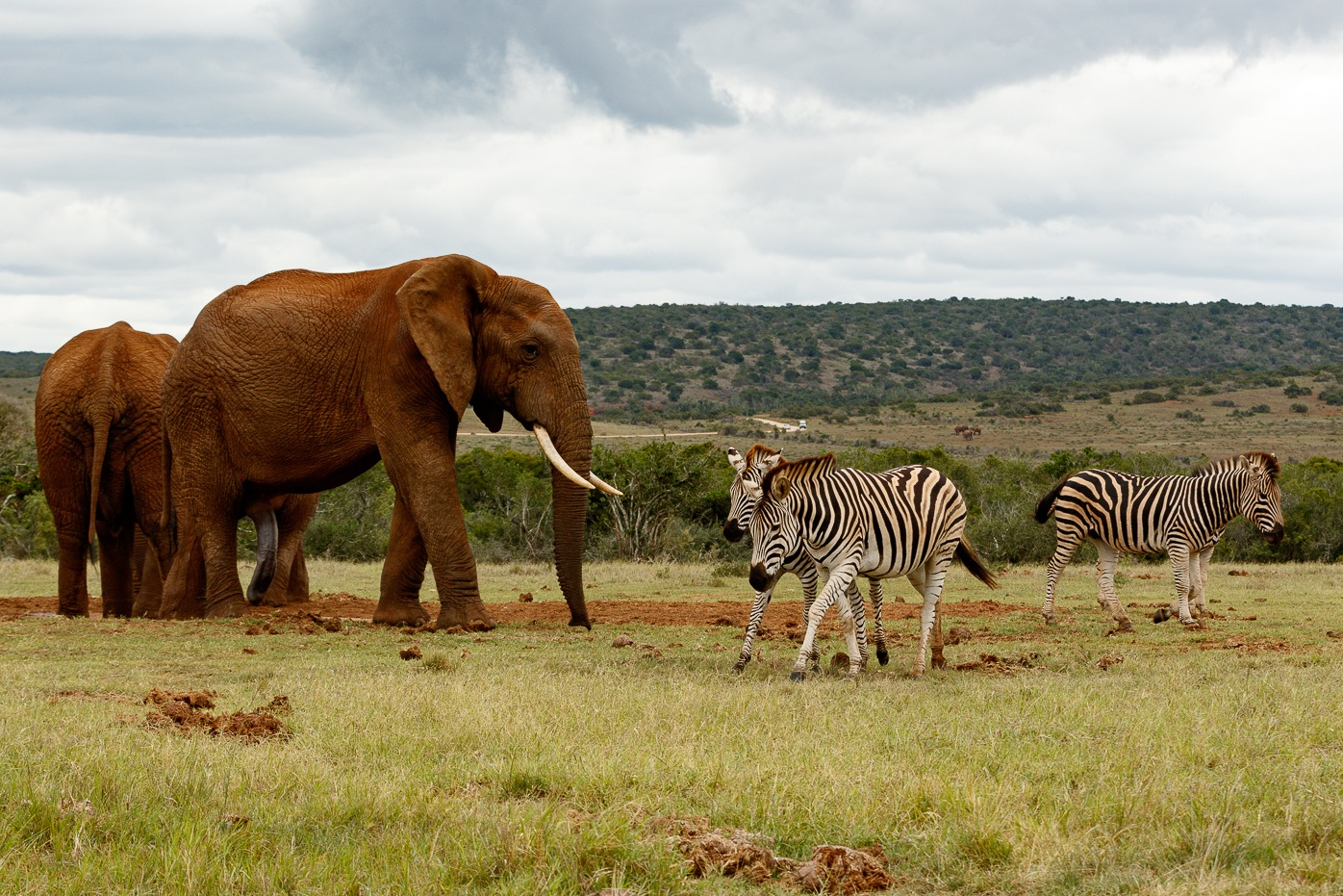 Elephants chasing the Zebras away  by Mark de Scande