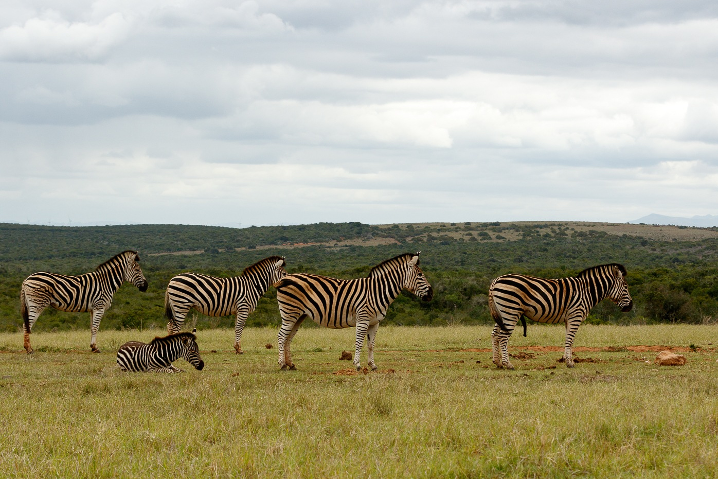 Zebras standing in a row waiting for some water by Mark de Scande