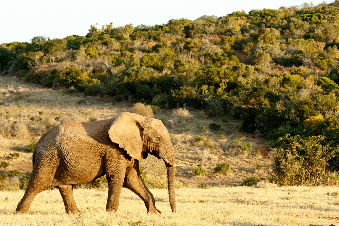 African Bush Elephant on the way to the water. by Mark de Scande