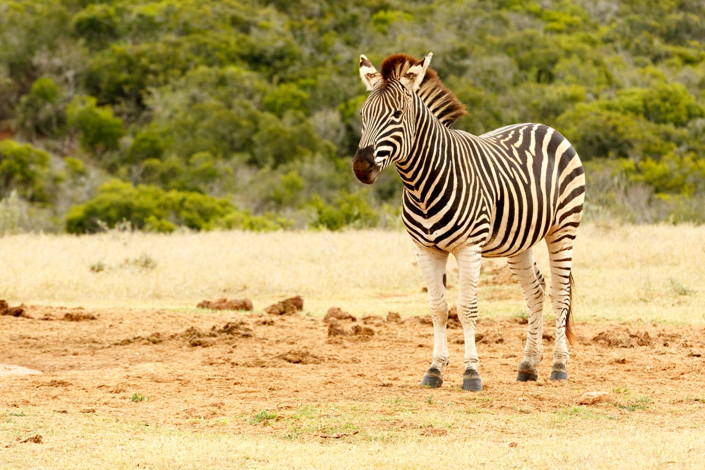 Burchell's Zebra waiting for a turn at the watering hole by Mark de Scande