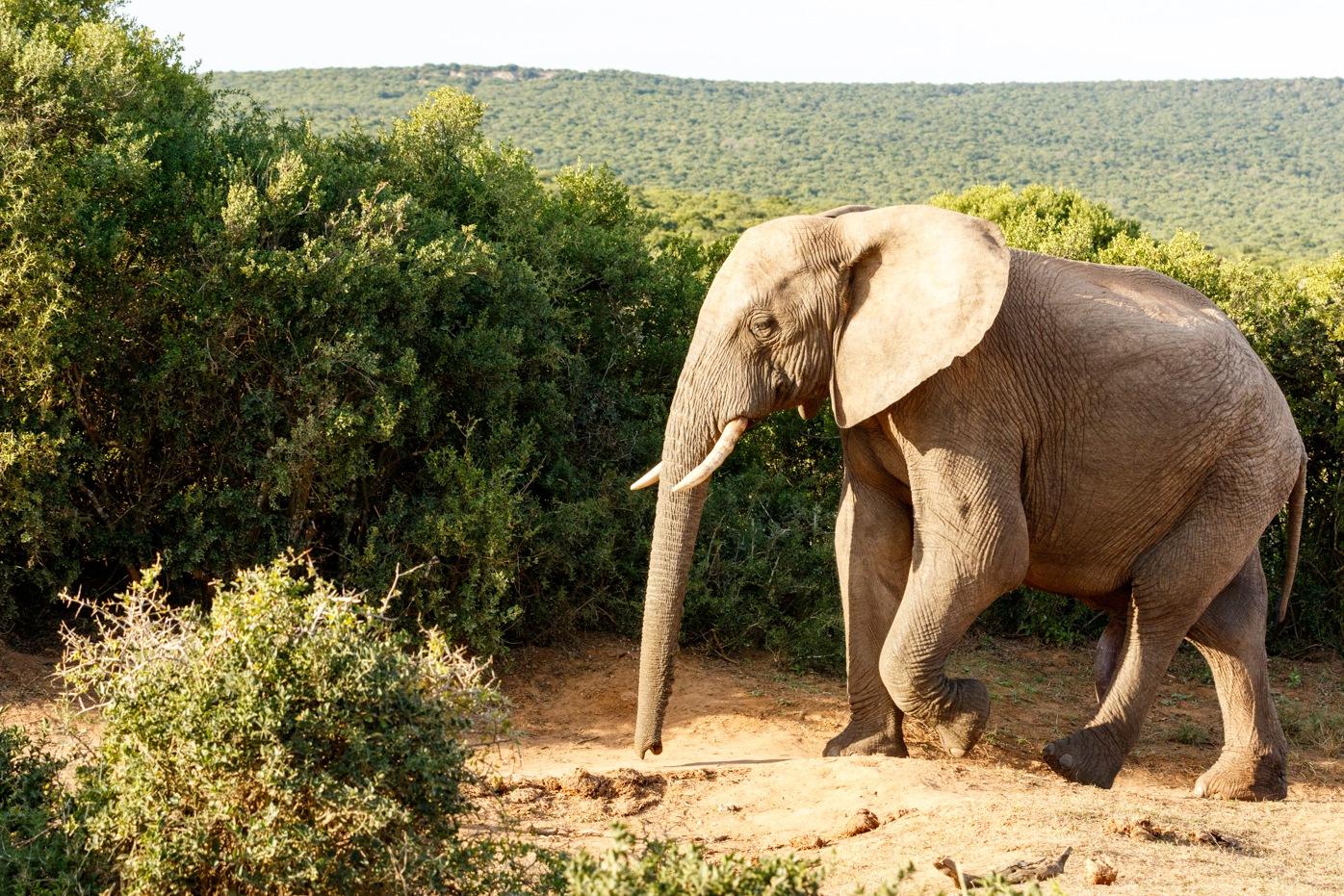 Elephant taking a walk looking so lonely by Mark de Scande