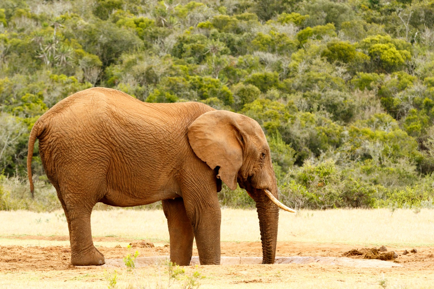 Bush Elephant with feet and trunk in the dam by Mark de Scande