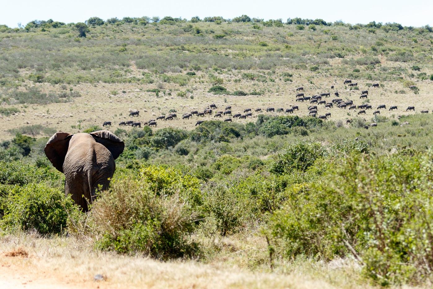 Bush Elephant walking towards the field by Mark de Scande