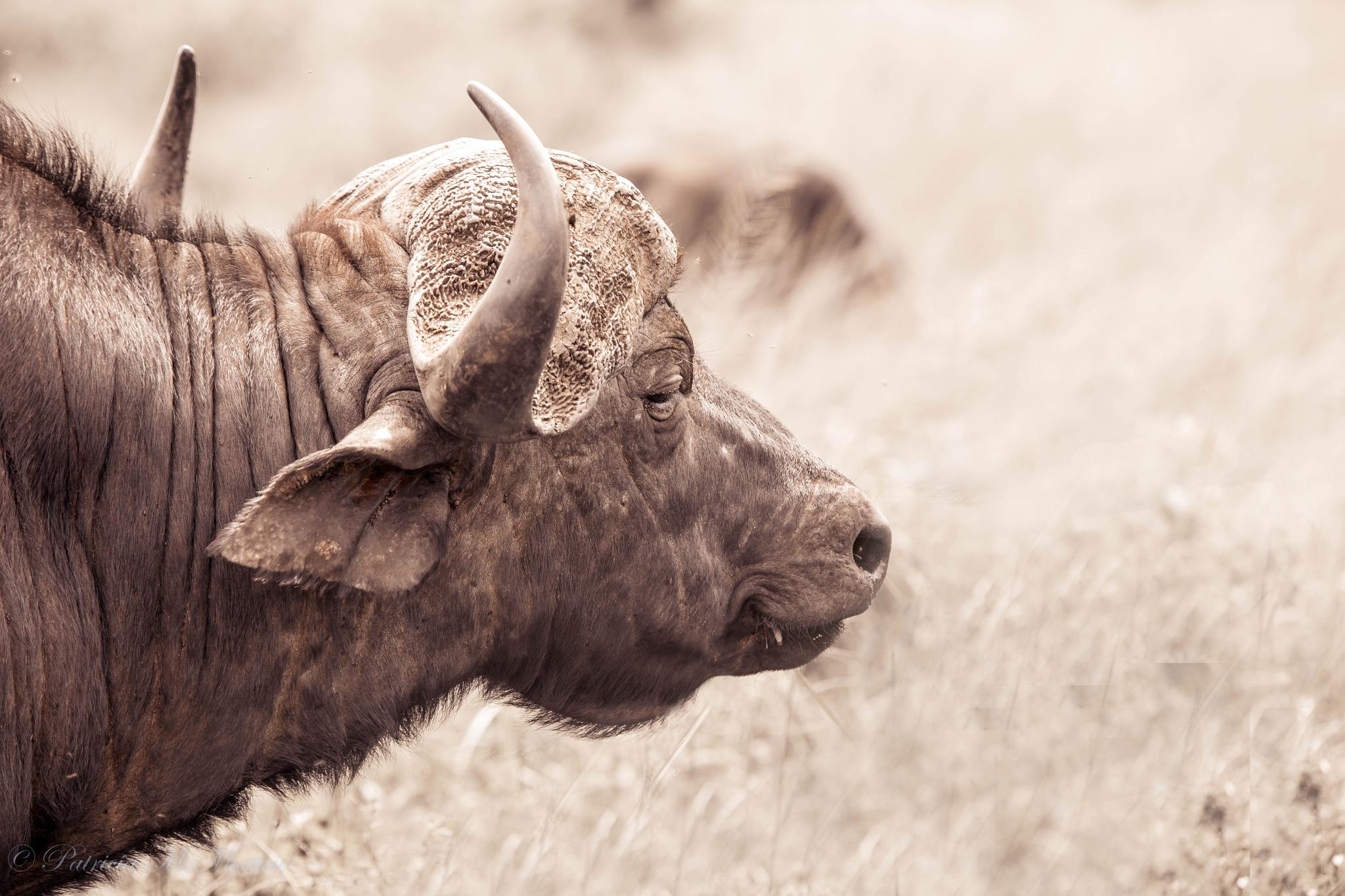 Cape Buffalo by izimvubu