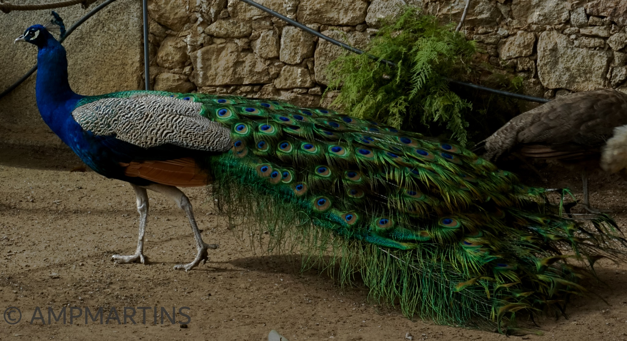 Hello i'm Mr. peacock by AMPMARTINS
