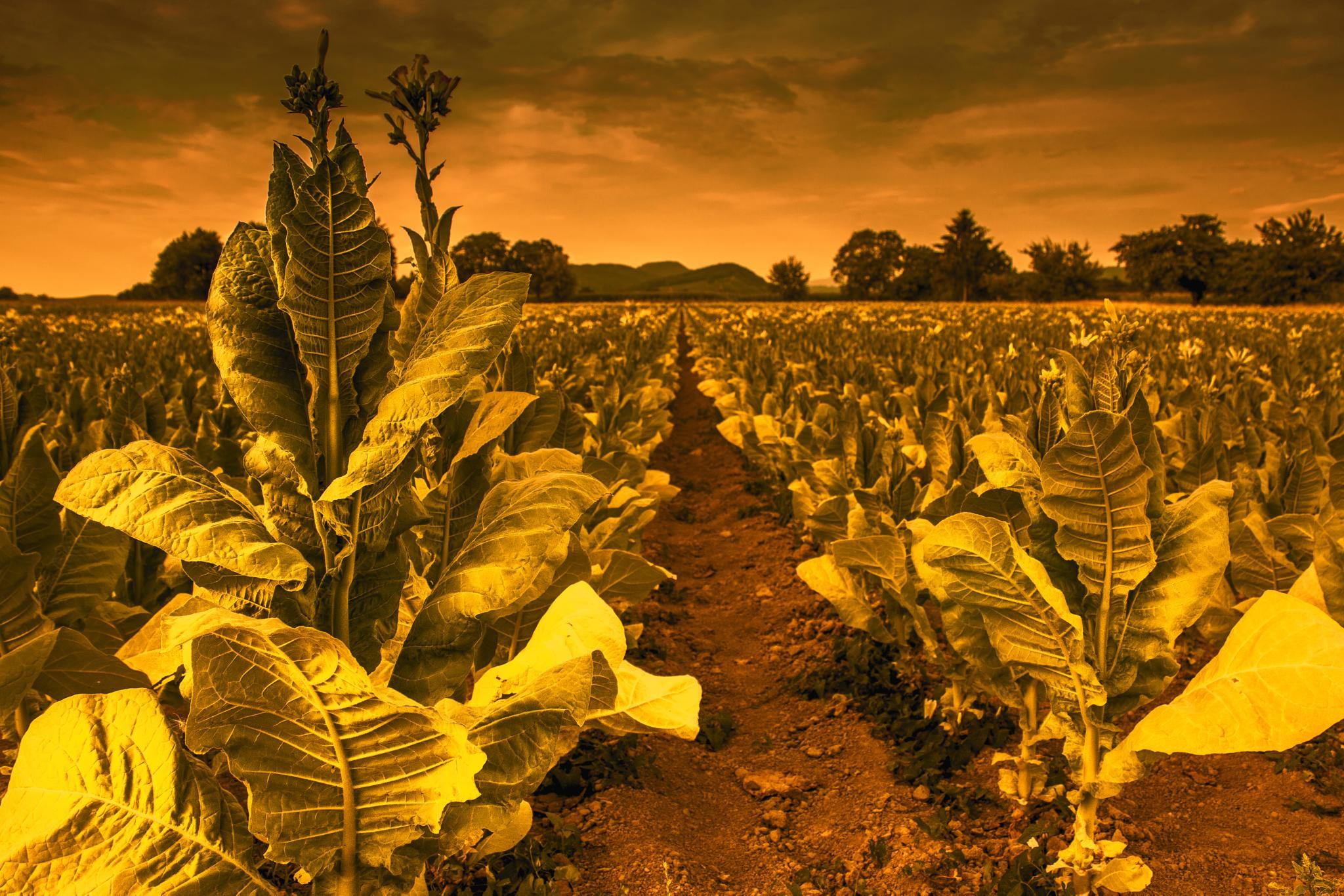 tobacco plants  by John Palmer