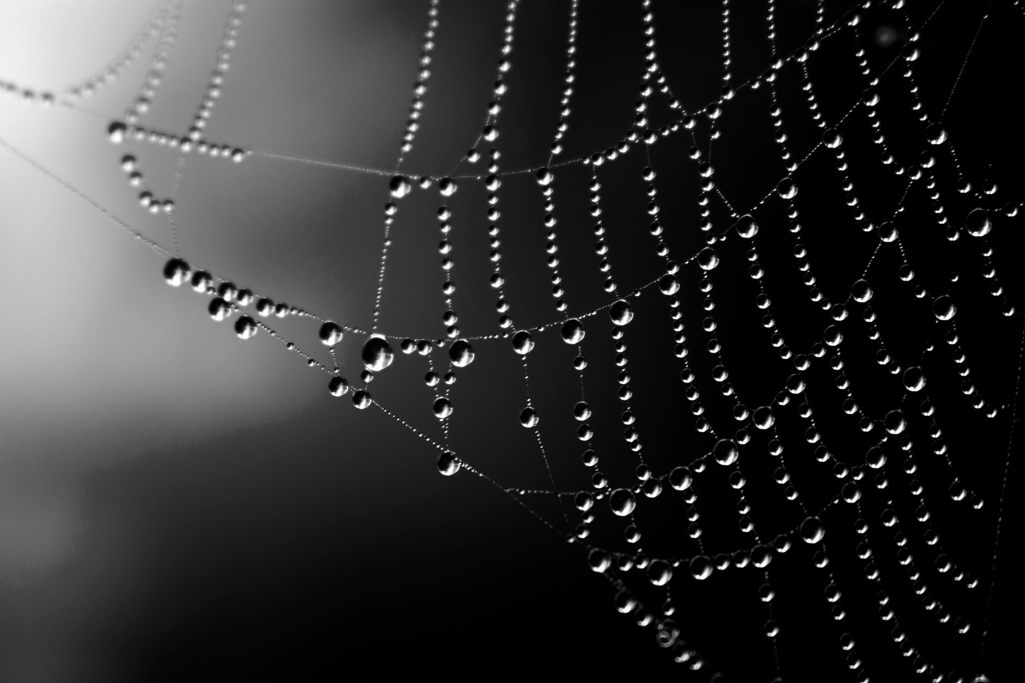 cobweb and drops by John Palmer