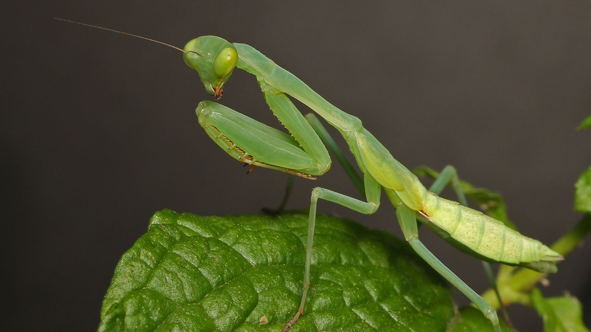 Praying Mantis by Gary_Stone