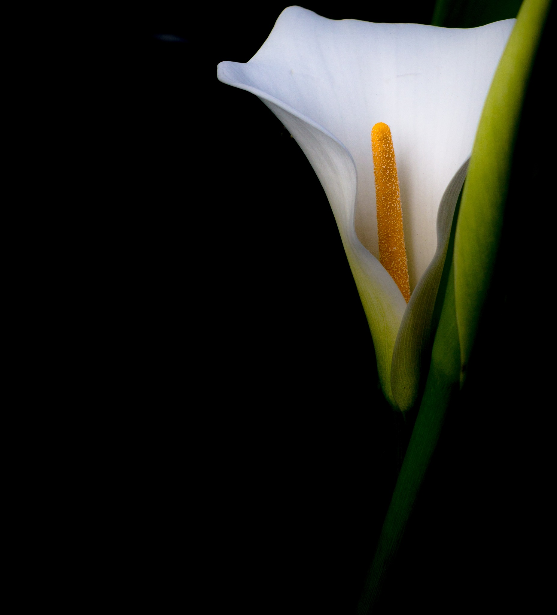 Calla Lilly by Paul Tuckley