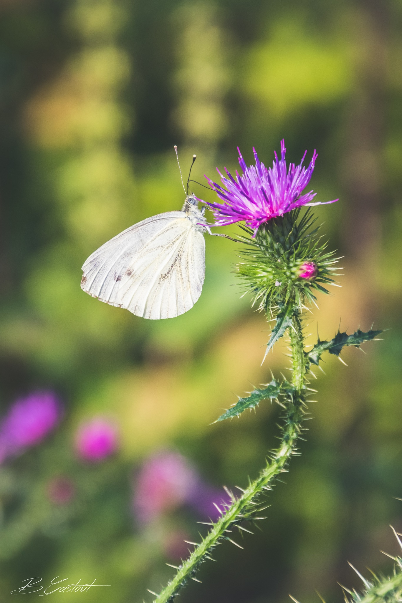 White butterfly by BGPhotography