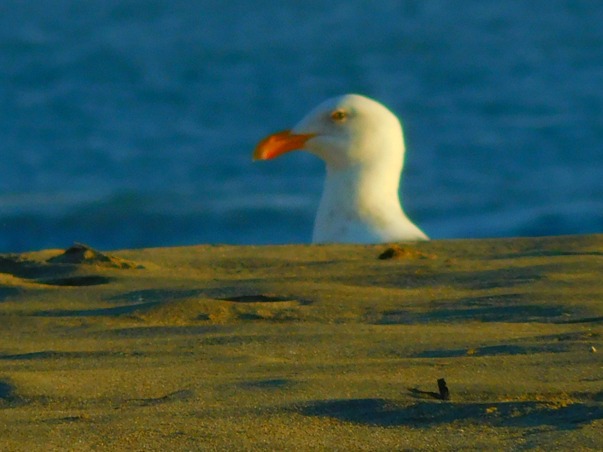 """""""GULL OF INTEREST"""" --SeeSomething?SaySomething!--Security Cam Capture by SEYMOUR_NAO"""