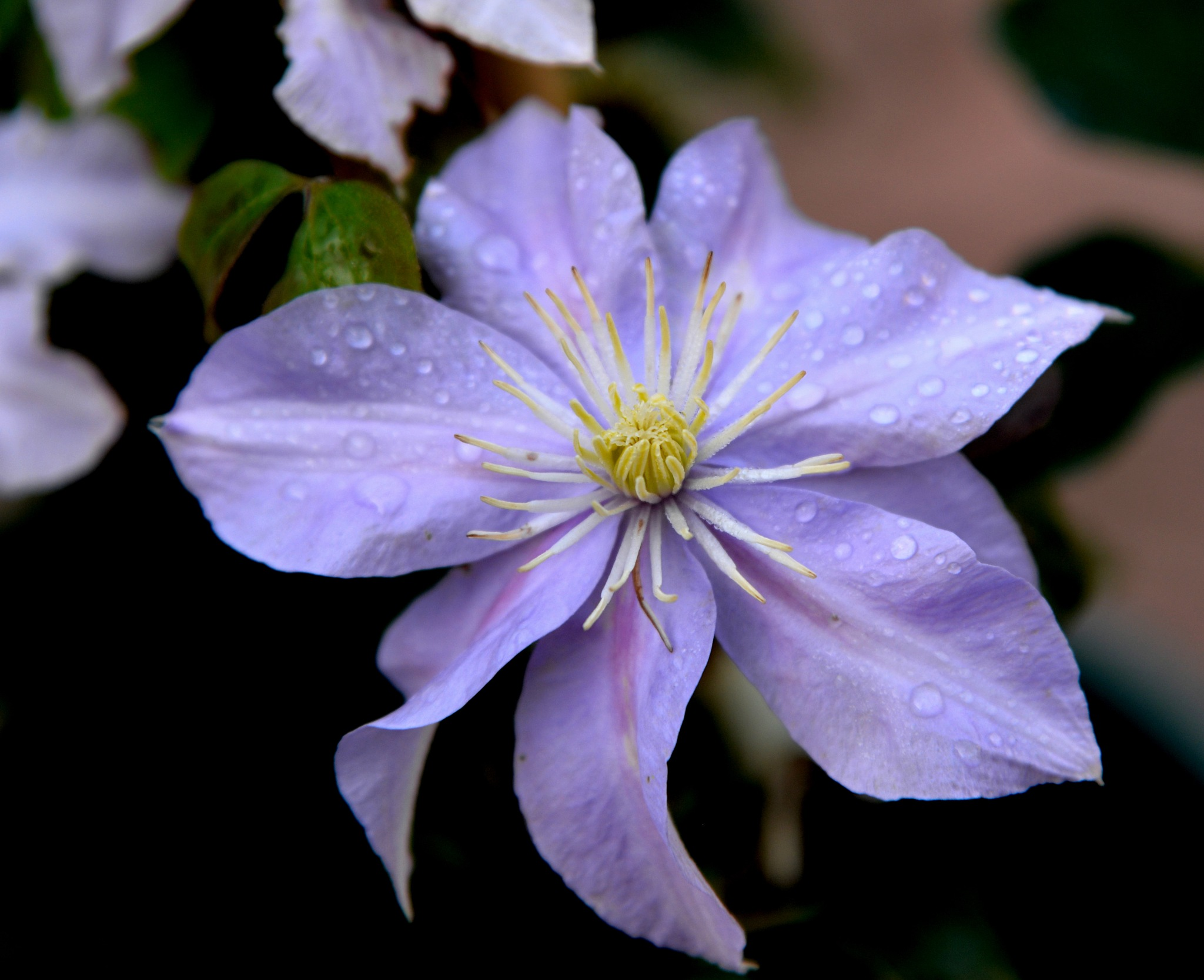 Winter Clematis by trevvie_uk