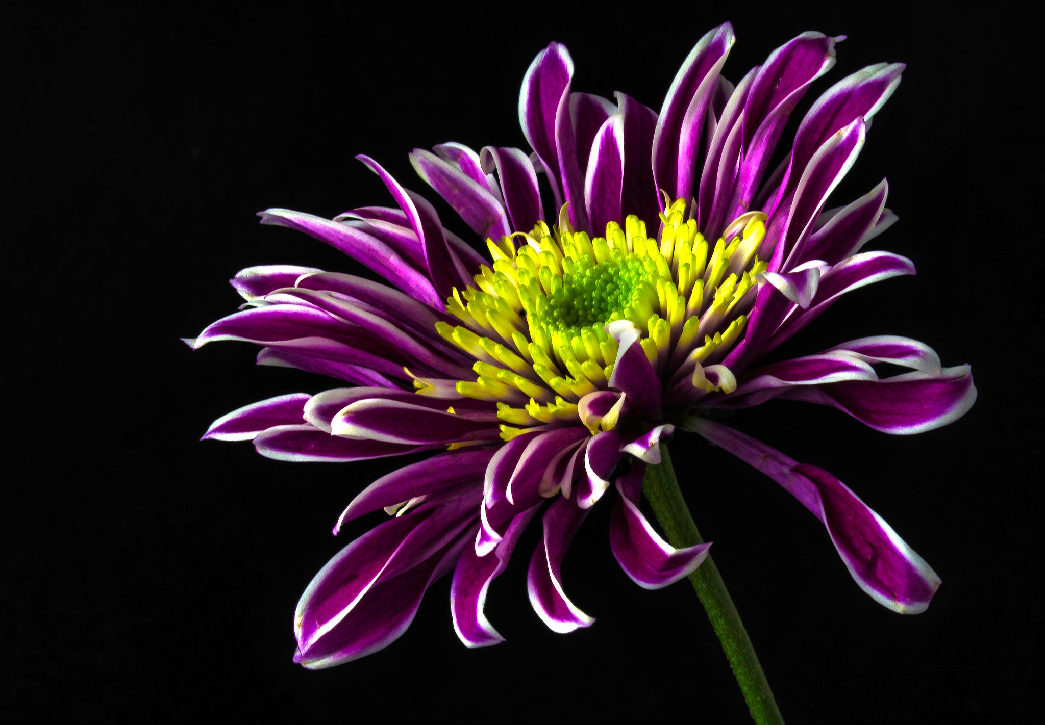 Chrysanthemum 2 by John Roberts