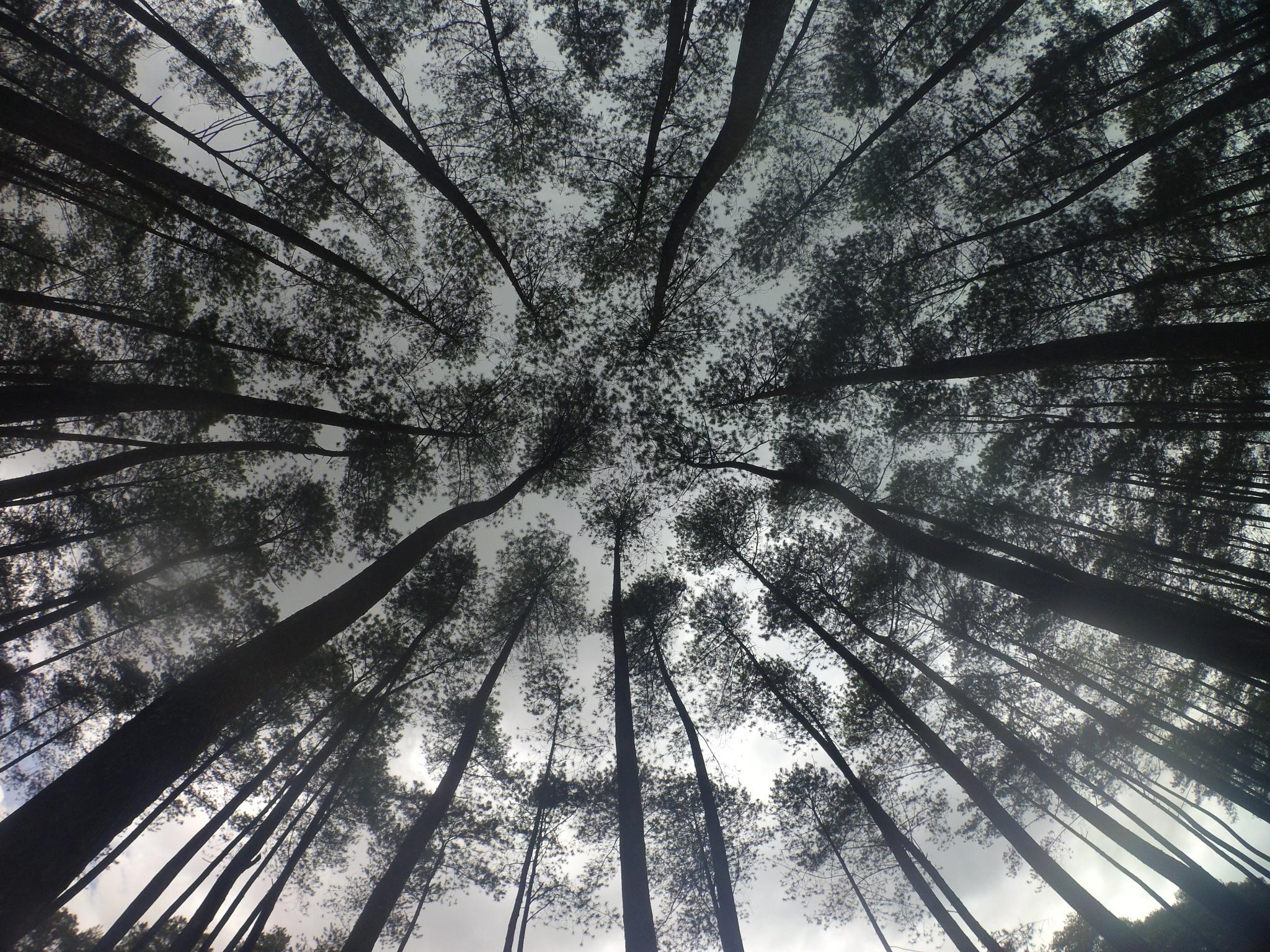 Pepohonan Pinus by kuplukman