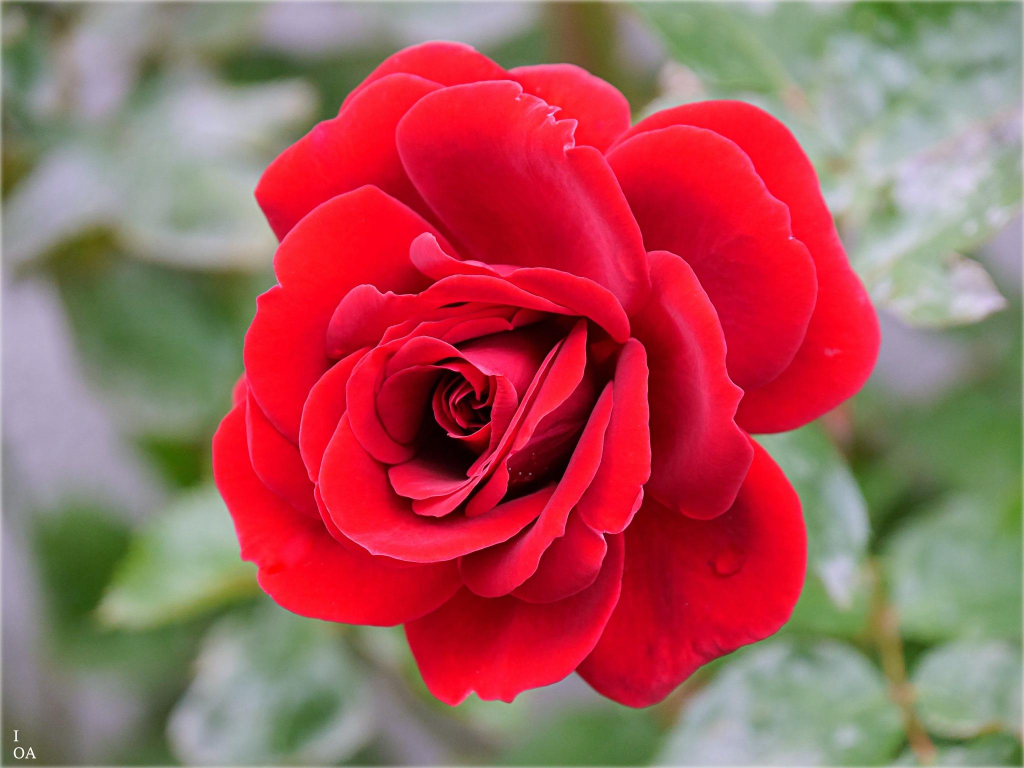 Rose by imageofantwerp