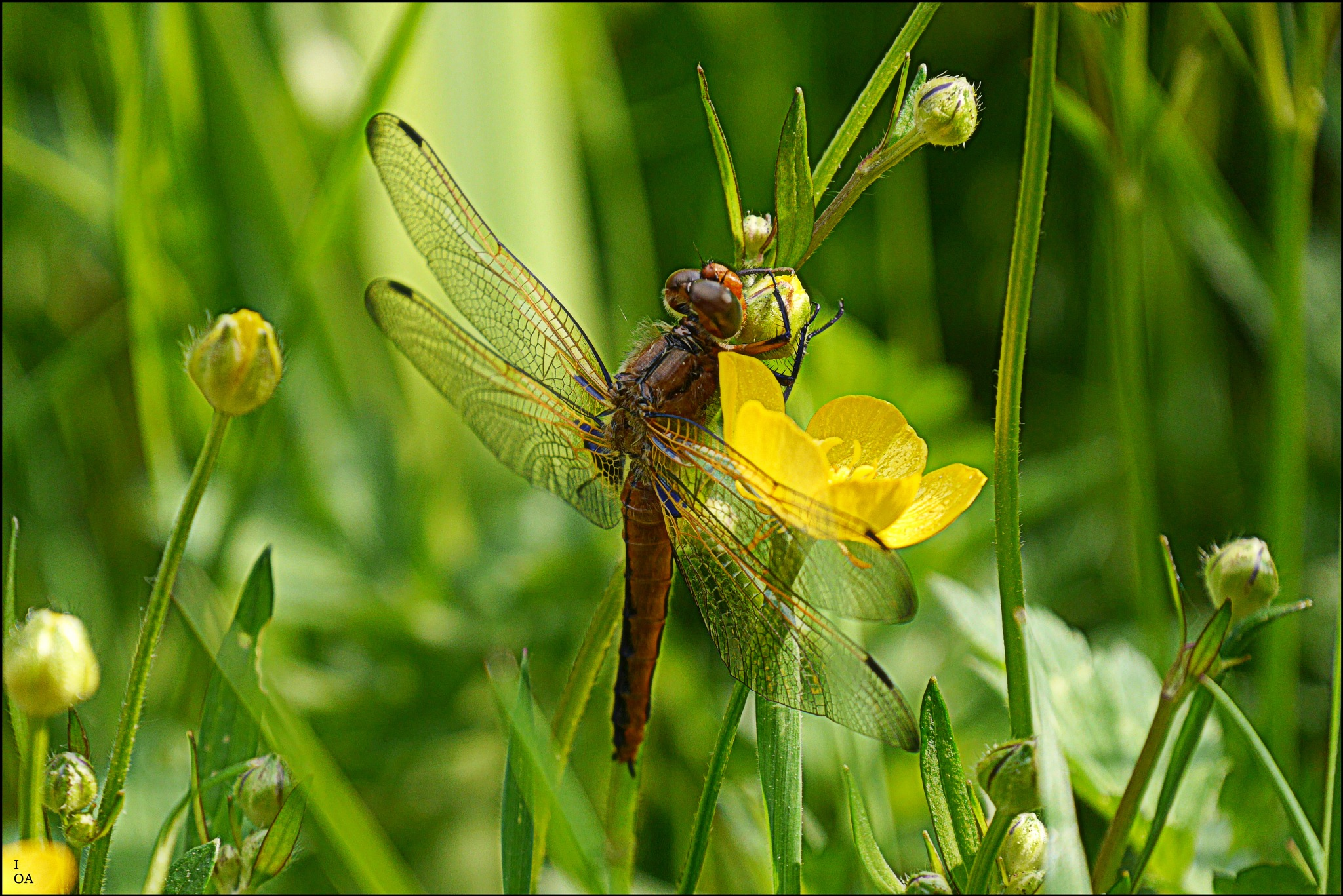 Dragonfly by imageofantwerp